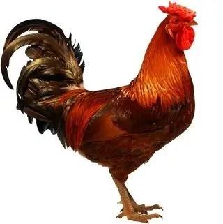 Derbyshire Redcap Chicken