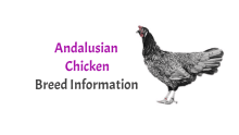 Andalusian Chicken