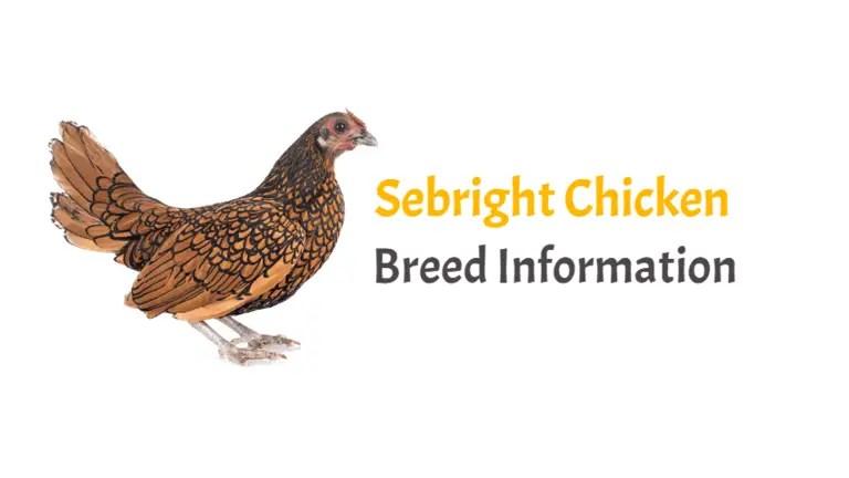 Sebright Chicken Breed