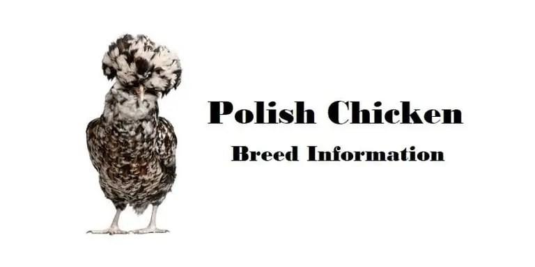 Polish Chicken Breed