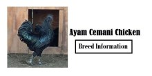 Ayam-Cemani Chicken Breed Information