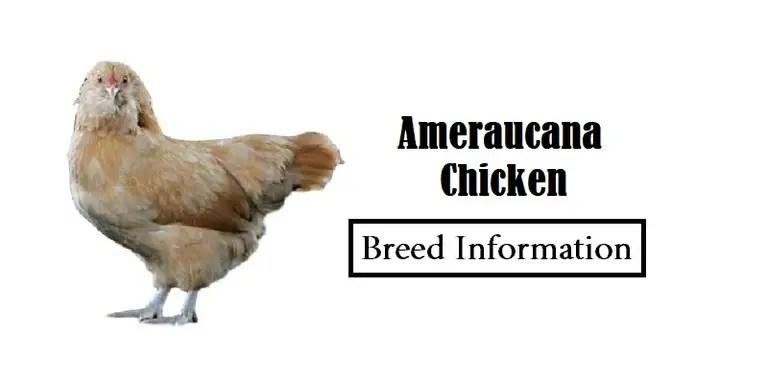 Ameraucana-Chicken Breed