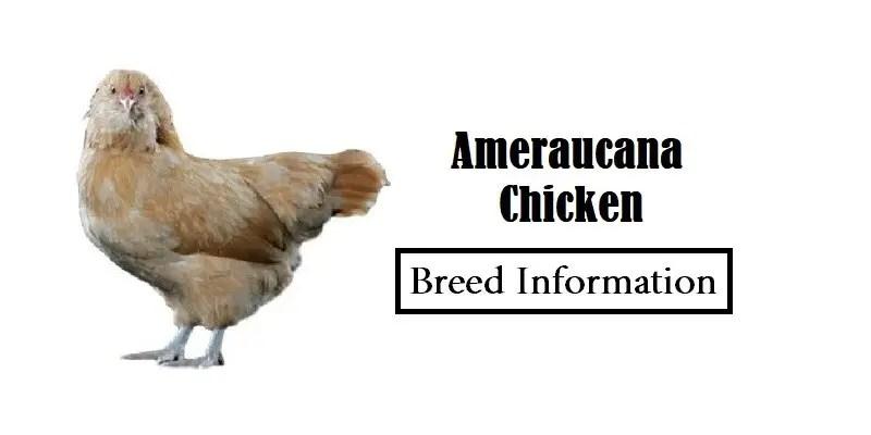 Ameraucana Chicken Breed Information, Characteristics, Temperament