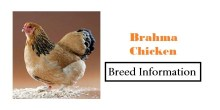 Brahma-Chicken Breed