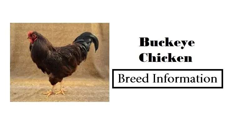 Buckeye-Chicken Breed