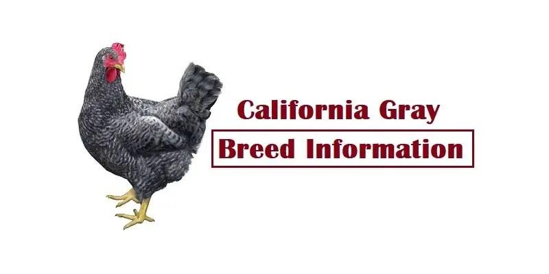 California Gray Chicken Breed Information, Characteristics, Temperament