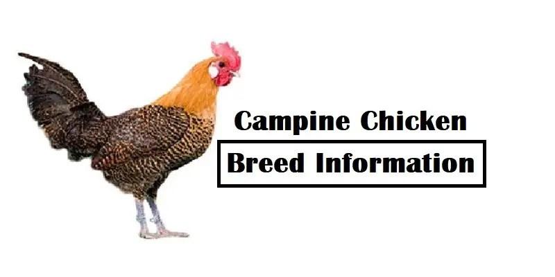 Campine Chicken Breed