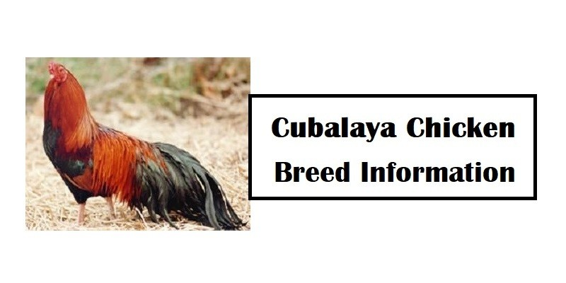 Cubalaya-Chicken-Breed