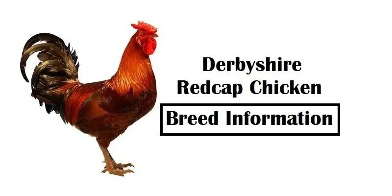 Derbyshire-Redcap-Chicken-Breed