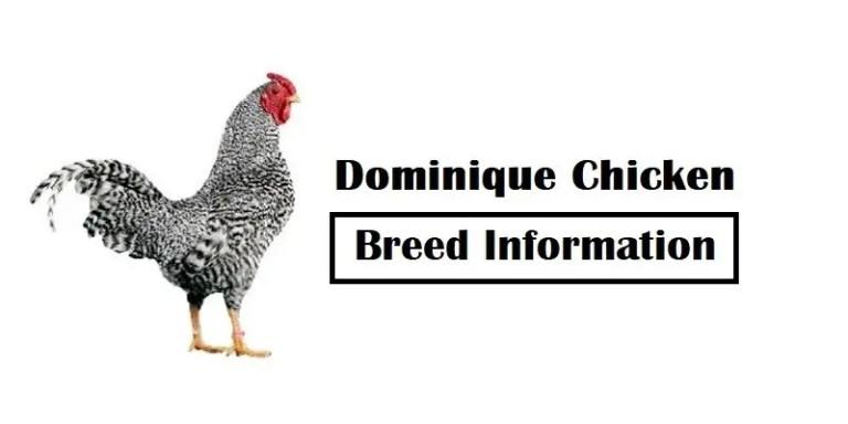 Dominique Chicken Breed