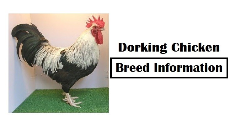 Dorking Chicken Breed Information, Characteristics, Temperament