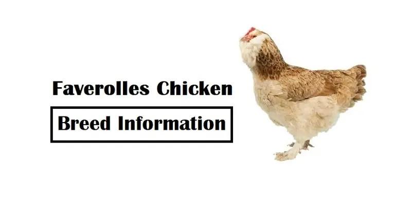 Faverolles-Chicken-Breed