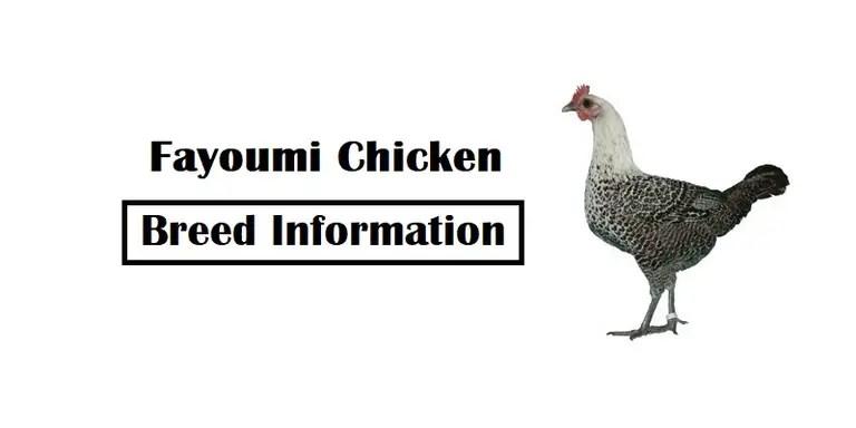 Fayoumi-Chicken-Breed