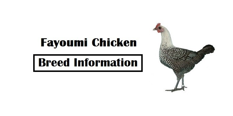 Fayoumi-Chicken-Breed
