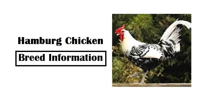 Hamburg-Chicken-Breed