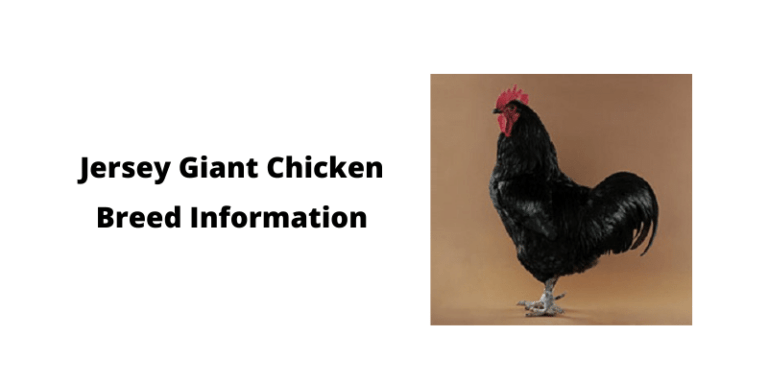 Jersey Giant Chicken