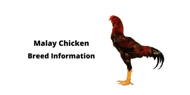 Malay Chicken