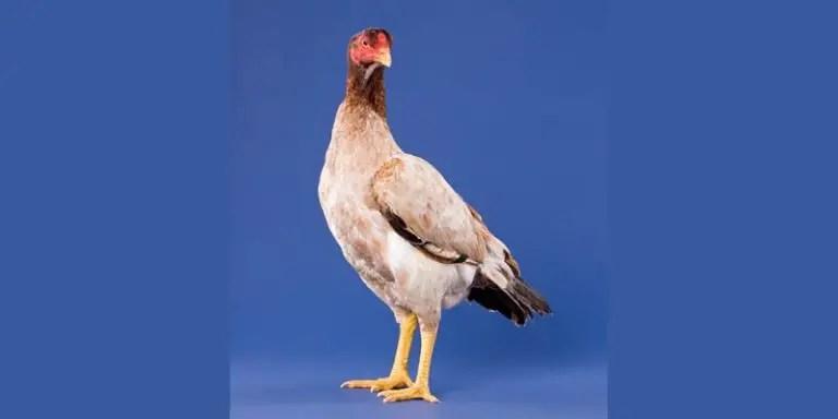 Asil Chicken Breed