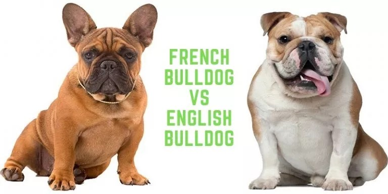 Difference Between English and French Bulldogs