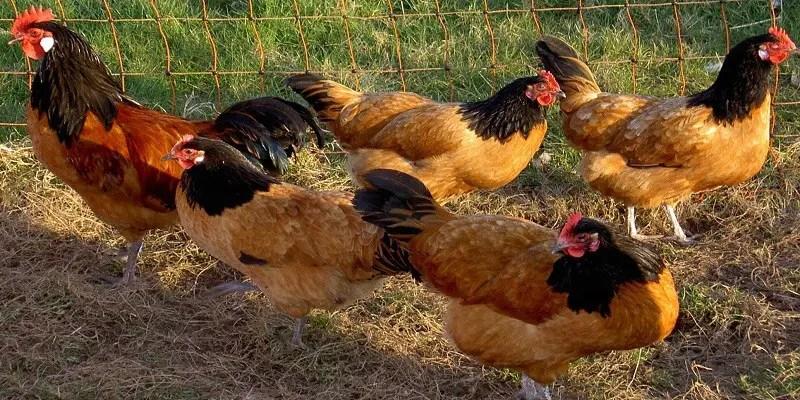 Vorwerk Chicken Breed