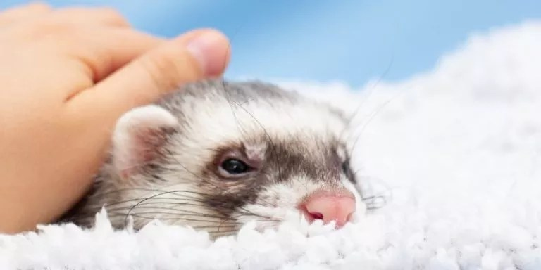 Crucial Care Tips for New Ferret Owners