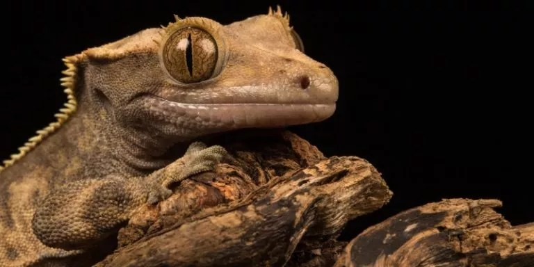 How to Feed a Crested Gecko