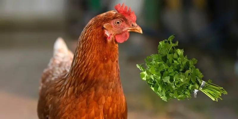 Can Chickens Eat Cilantro