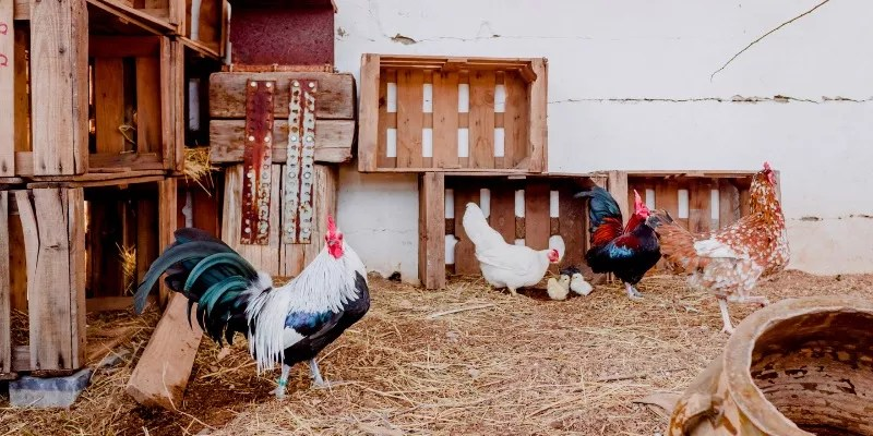 How Many Nesting Boxes Per Chicken
