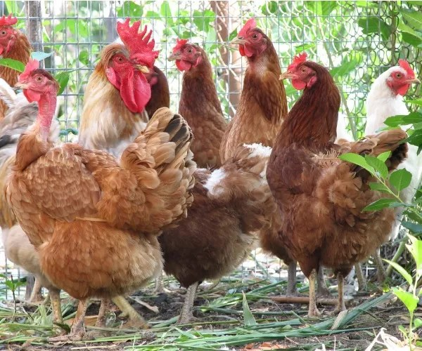 What Is A Group Of Hens Called
