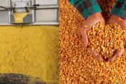 Yellow Maize is a Key Ingredient in the Formulation of Poultry Feeds