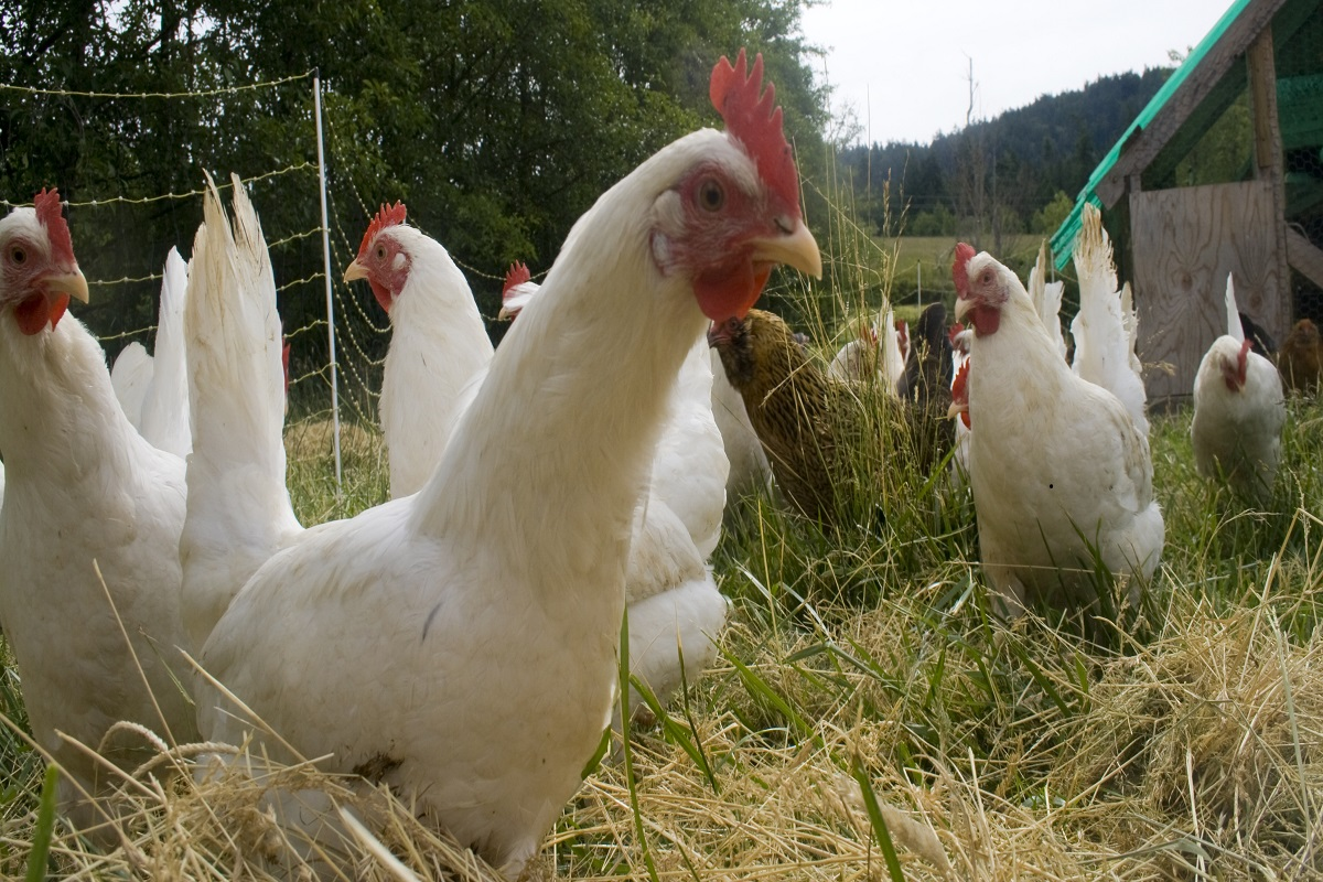 Free range chicken farming