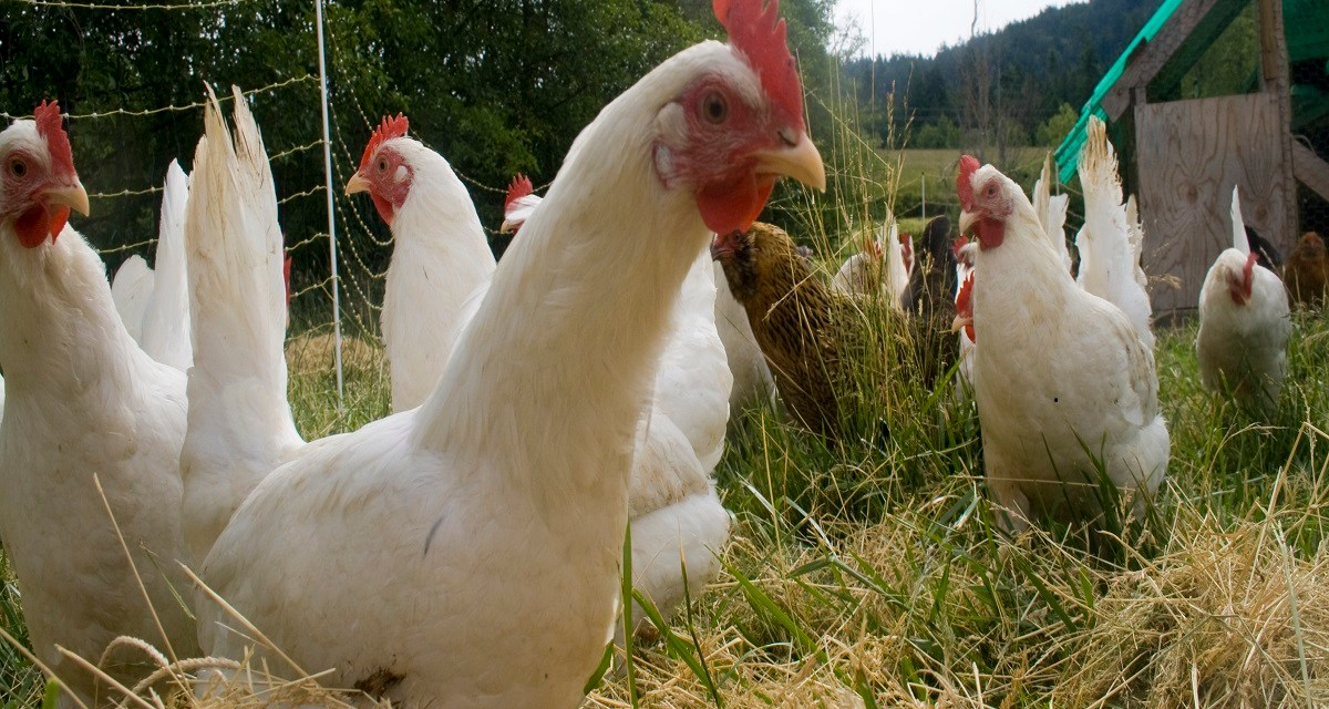 5 SECRETS HOW TO START A SUCCESSFUL FREE RANGE CHICKEN FARMING BUSINESS