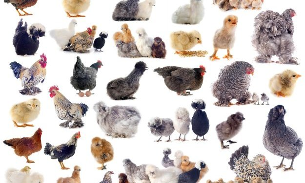 How To Choose The Best Chicken Breeds For Your Poultry Business