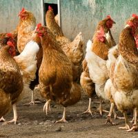 dual purpose chicken breeds