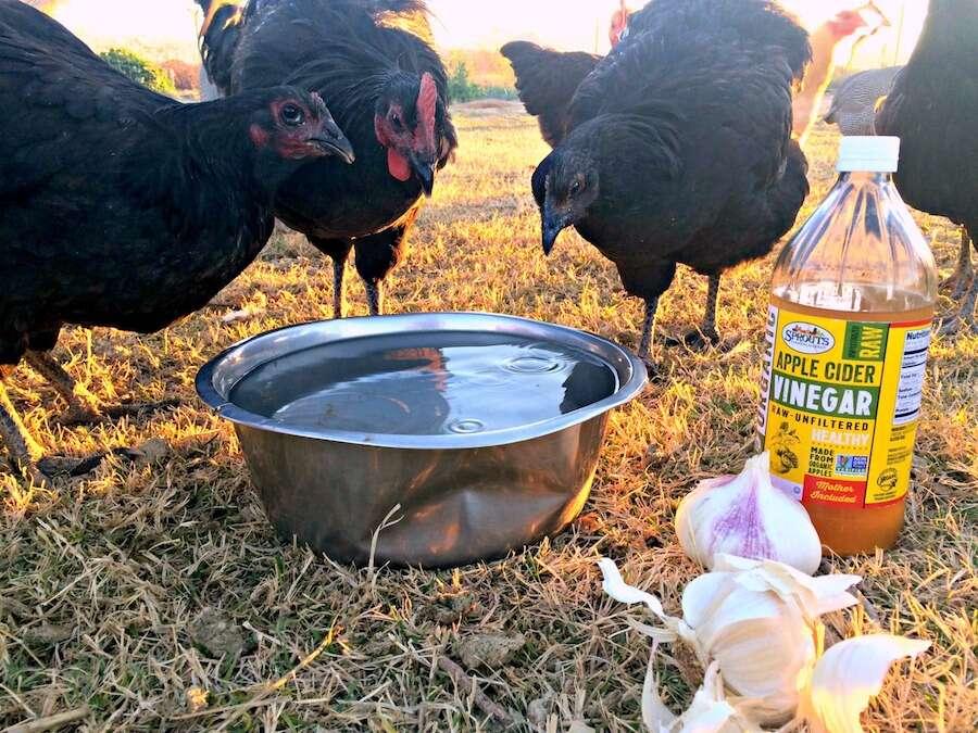 boost chicken immune system