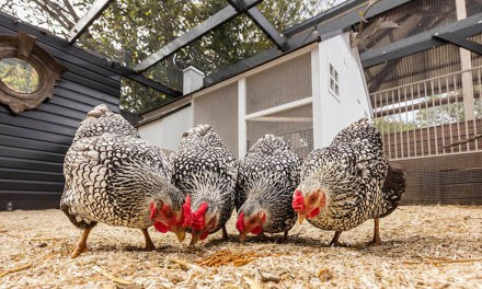 The Best Ways of Raising Chickens in the City in 2020