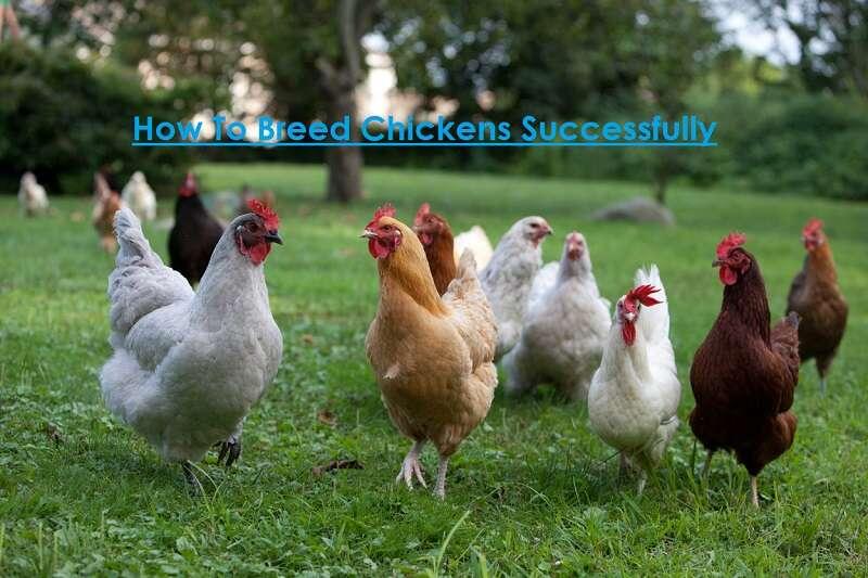 Breeding of Chickens