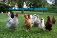 Breeding of Chickens