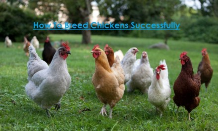 4 Proven Ways To A Successful Breeding of Chickens