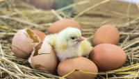 how long does a chicken egg to hatch