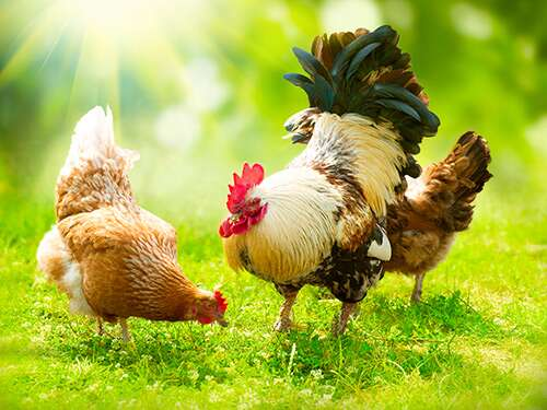 What Do Chickens Eat for Treats and in the Wild? 7 Excellent Ideas Every Poultry Farmer Should Know