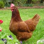 5 Amazing Things You Need To Know on How Long Do Chickens Live