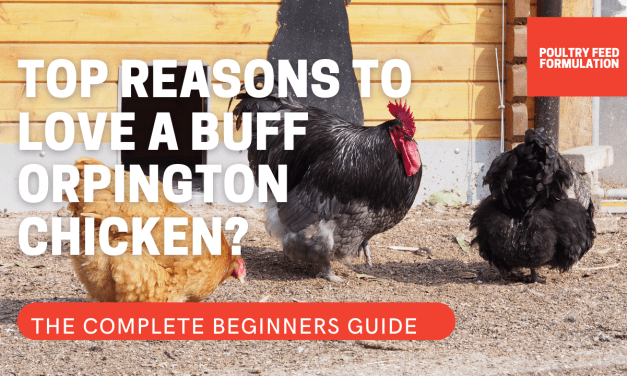7 Fascinating Reasons People Would Love Buff Orpington