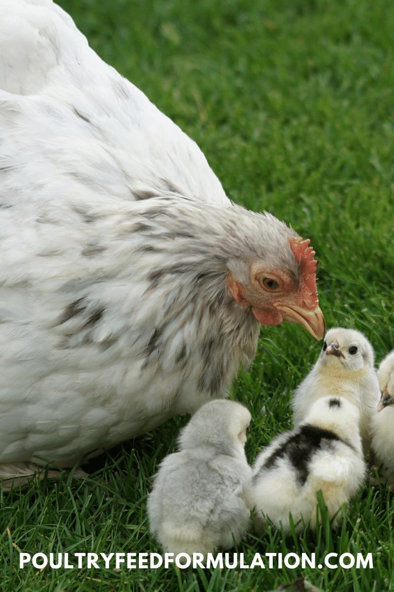 cochin chicken hen
