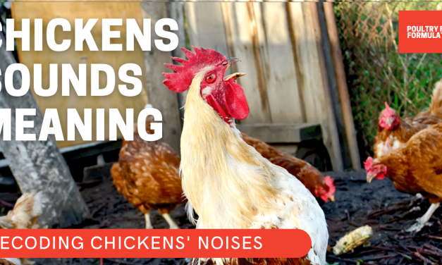 10 Most Common Fascinating Chicken Sounds and Noises and How to Decode Its Meaning