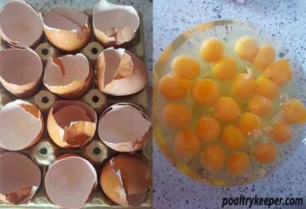Multiple Yolk Eggs