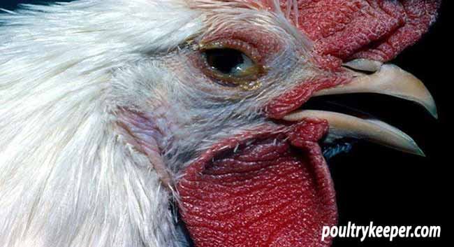 Chicken with IB Conjunctivitis
