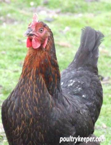 Black Rock Hen