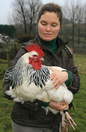 Light Sussex Cock being held