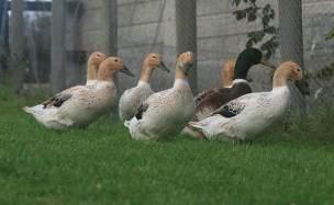 Flock-of-Ducks